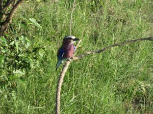 'the red-breasted bee-picker'  (die Gabelracke), der Nationalvogel Kenias